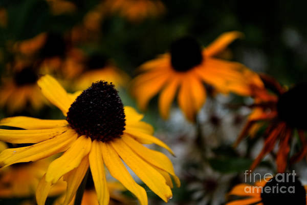 Photograph - Yellow Flower Vignette by Scott Lyons