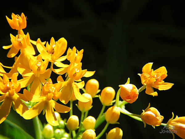 Photograph - Yellow Flowers by Adam Johnson