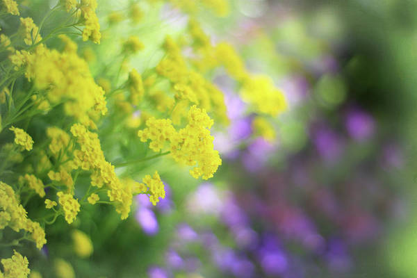 Canada Photograph - Yellow Flowers by Carmen Brown Photography