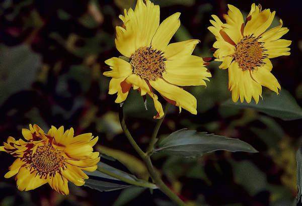 Photograph - Yellow Flowers by Charles Muhle