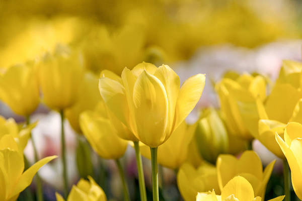 Photograph - Yellow Flowers by Rospotte Photography
