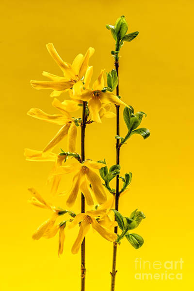 Wall Art - Photograph - Yellow Forsythia Flowers by Elena Elisseeva