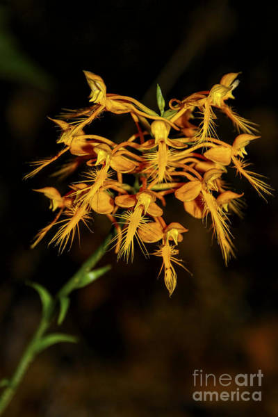 Photograph - Yellow Fringed Orchid by Barbara Bowen