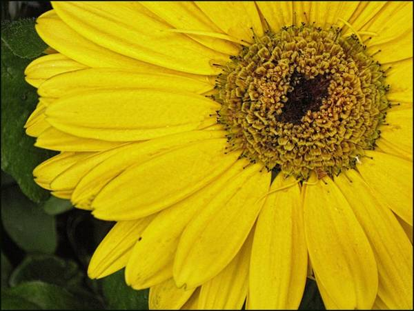 Photograph - Yellow Gerbera Daisy 4 by Doug Morgan
