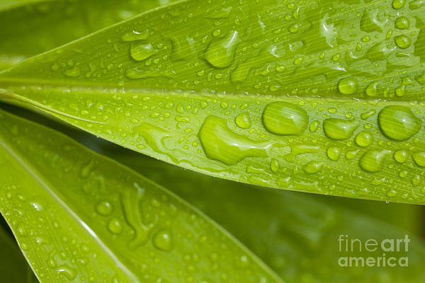 Photograph - Yellow Ginger Leaves by Charmian Vistaunet