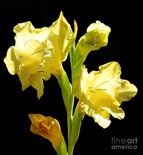 Photograph - Yellow Gladioli Flowers 2 by Rose Santuci-Sofranko
