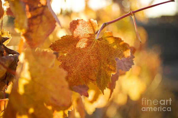 Photograph - Yellow Grape Leaves by Charmian Vistaunet
