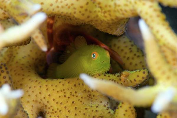 Wall Art - Photograph - Yellow Hairy Goby In Coral by Scubazoo/science Photo Library