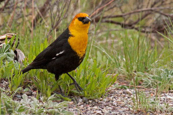 Photograph - Yellow Headed Black Bird At Willow Flats by Fred Stearns