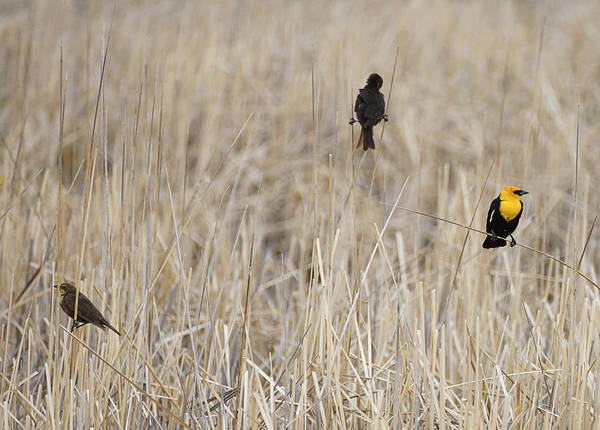 Wall Art - Photograph - Yellow Headed Black Birds On Dry Marsh Reeds by Donald  Erickson