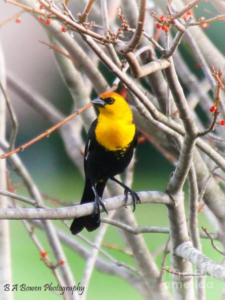 Photograph - Yellow-headed Blackbird by Barbara Bowen