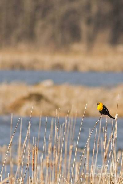 Horicon Marsh Photograph - Yellow-headed Blackbird In Horicon Marsh by Natural Focal Point Photography
