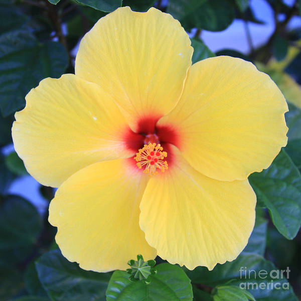 Painting - Yellow Hibiscus by Robin Maria Pedrero