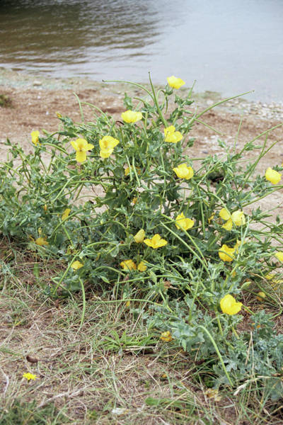 Biennial Photograph - Yellow Horned Poppy by Chris Dawe/science Photo Library