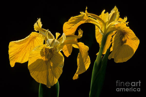 Photograph - Yellow Iris Flowers by Chris Scroggins