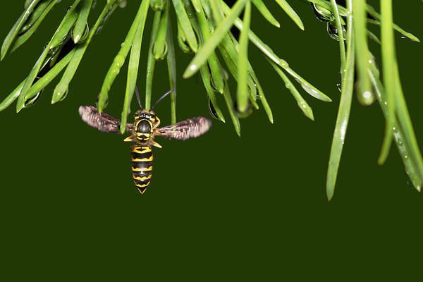 Photograph - Yellow Jacket At Pine Needles With Raindrops by Daniel Reed