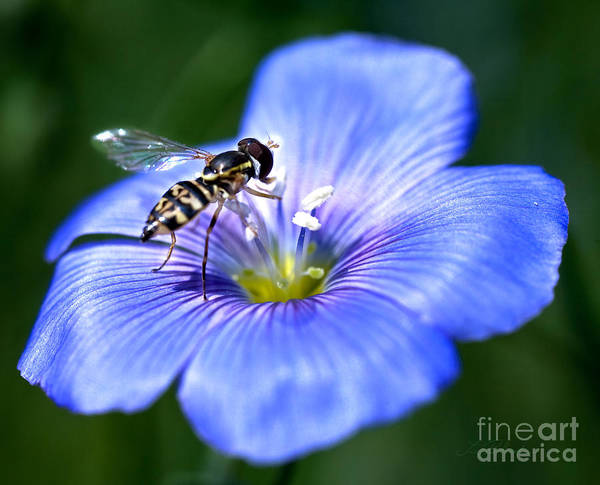 Blue Jackets Photograph - Blue Flax Flower With Syrphid Fly by Iris Richardson