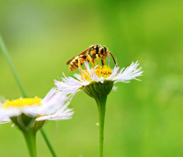 Photograph - Yellow Jacket Wildflower by Candice Trimble