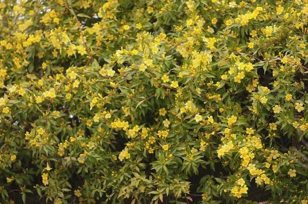 Jasmine Photograph - Yellow Jasmine (gelsemium Sempervirens) by Maria Mosolova/science Photo Library