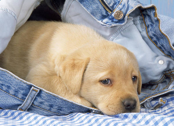 Naughty Dog Wall Art - Photograph - Yellow Labrador Puppy In Jeans by John Daniels