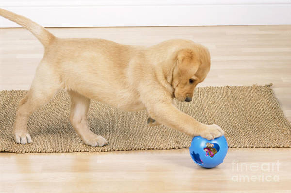 Dog Treat Photograph - Yellow Labrador Puppy by John Daniels
