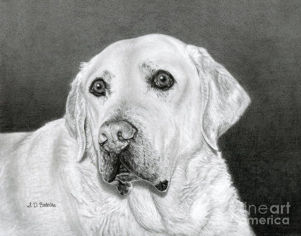 Hand Drawn Drawing - Yellow Labrador Retriever- Bentley by Sarah Batalka