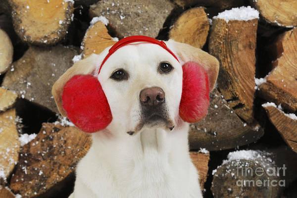 Ear Muffs Photograph - Yellow Labrador With Ear Muffs by John Daniels