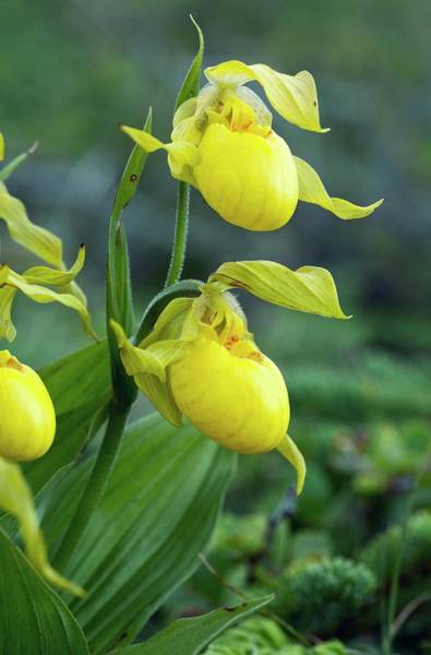 Lady Slippers Photograph - Yellow Lady's Slipper In Flower by Bob Gibbons/science Photo Library