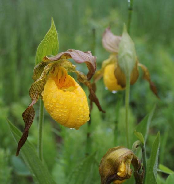 Photograph - Yellow Lady's Slippers by Ruth Kamenev