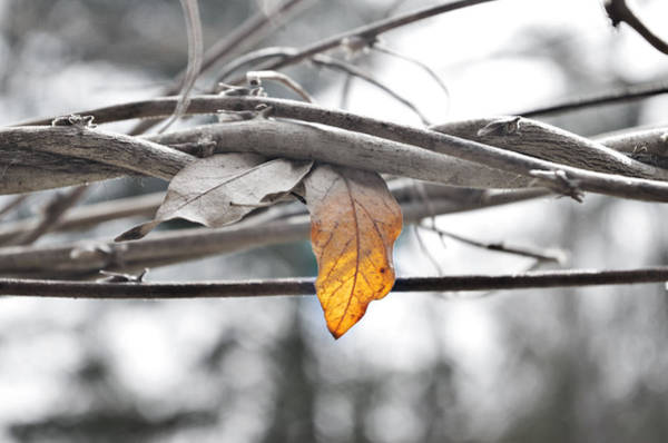 Photograph - Yellow Leaf by Sharon Popek