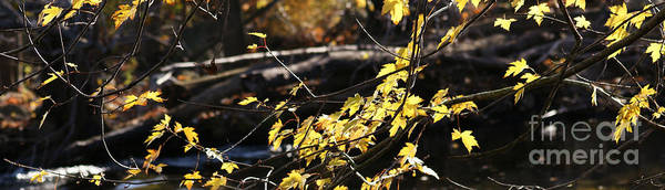 Photograph - Yellow Leaves In Autumn by Linda Shafer