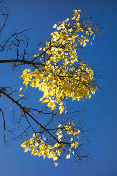 Photograph - Yellow Leaves In Fall And Deep Blue Sky by Matthias Hauser