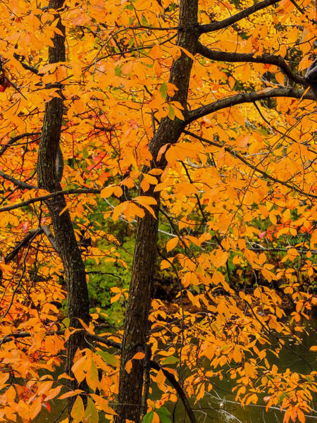 Photograph - Yellow Leaves by Robert Mitchell