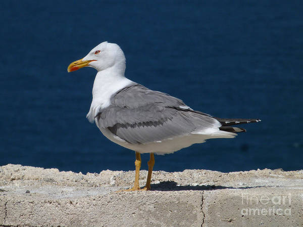 Photograph - Yellow Legged Gull by Phil Banks