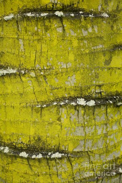 Photograph - Yellow Lichen On Palm Trunk by Charmian Vistaunet