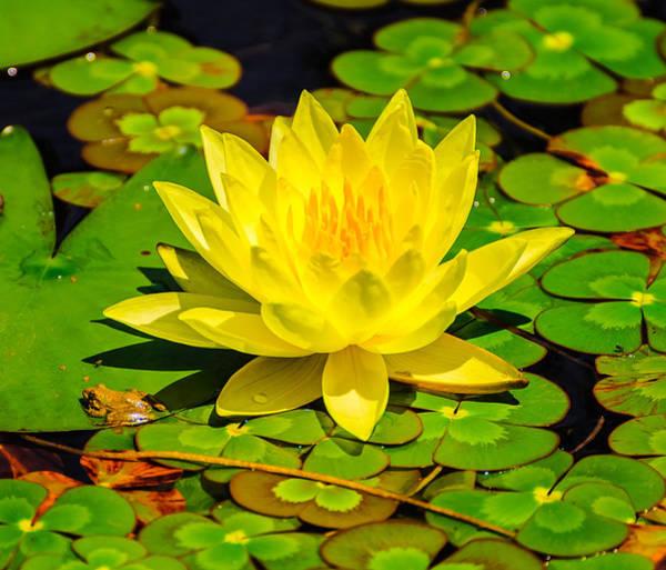 Photograph - Yellow Lily by John Johnson