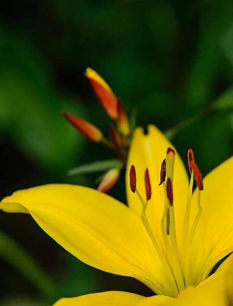 Photograph - Yellow Lily by Robert Mitchell