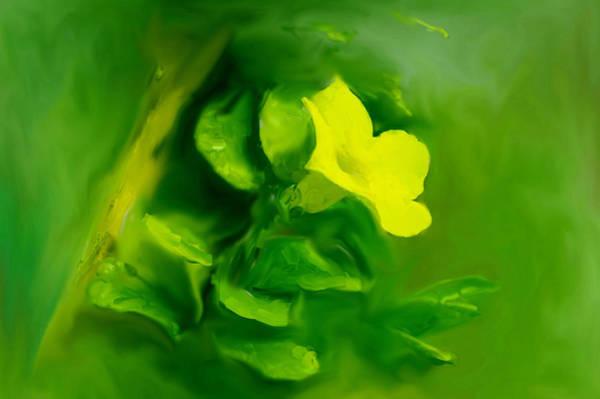 Yellow Mandevilla Flower Art Print