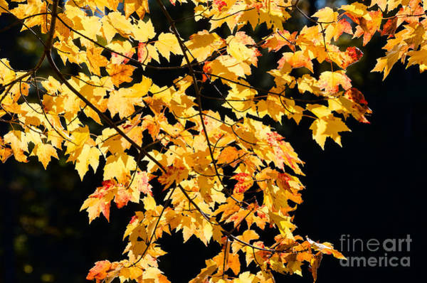 Photograph - Yellow Maple Leaves by Les Palenik