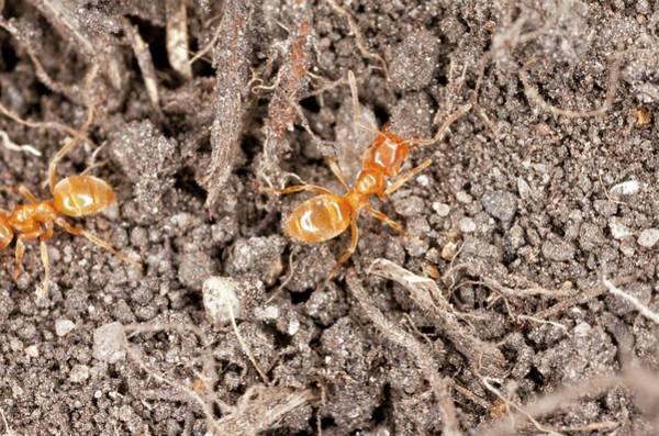 Animal Kingdom Wall Art - Photograph - Yellow Meadow Ants by Bob Gibbons