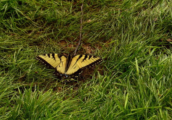 Photograph - Reduced Yellow Monarch by Wild Thing