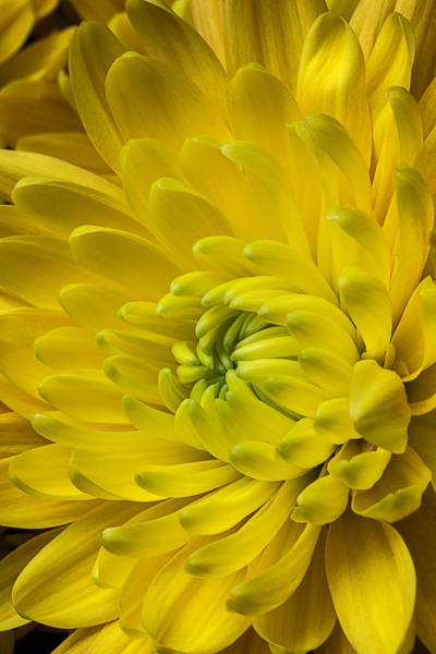 Mum Photograph - Yellow Mum Still Life by Garry Gay