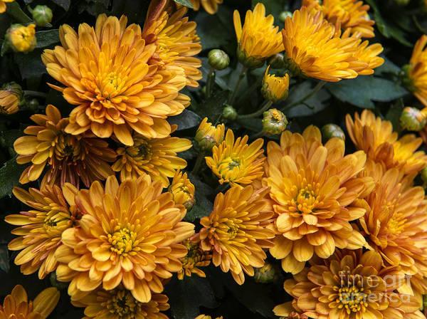 Photograph - Yellow Muns by Louise St Romain