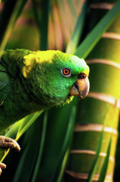 Roatan Photograph - Yellow-naped Amazon Parrot On Perch by Animal Images