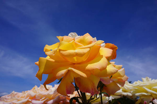 Wall Art - Photograph - Yellow Orange Rose Flower Art Prints Blue Sky by Baslee Troutman
