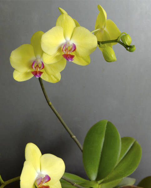 Photograph - Yellow Orchid by Lynn Hansen