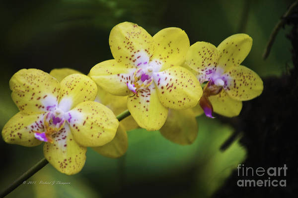 Photograph - Yellow Orchids by Richard J Thompson