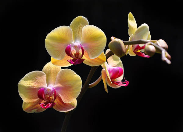 Wall Art - Photograph - Yellow Orchids by Tony Ramos