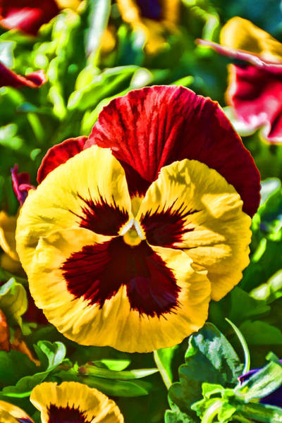 Photograph - Yellow Pansy by Jeanne May