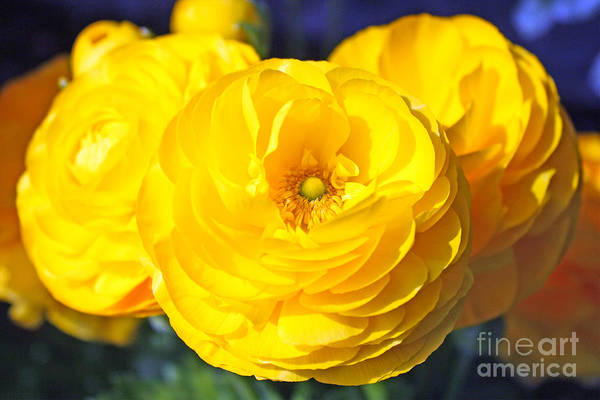 Photograph - Yellow Peonies by Kelly Holm